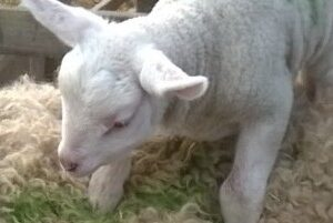 First Lambs and Pig Swaps